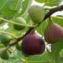 unfruitful fig tree